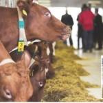Hotel za krave u Trnopolju: Mlijeko sa vanilijom i muža uz muziku