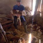 Gornji Milanovac: Krava otelila petoro zdrave teladi