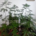 Prijedor-Pronađena marihuana i indijska konoplja