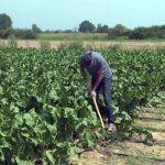 Proizvodnja zaboravljenog povrća hrena, prilika za dubičke povrtare (VIDEO)