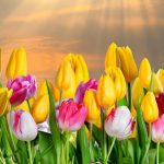 "Holanđani tulipanu dali ime ""Banja Luka"""