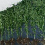 Rekordna zapljena - Policija u Posušju zaplijenila 2.246 stabljika indijske konoplje