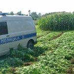 Uzgojio 1.080 stabljika marihuane među kukuruzima