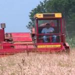 Kvalitet pšenice daleko od očekivanog (VIDEO)