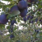 Rodna godina u voćnjaku Nove Kuzmana (VIDEO)