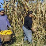 U prijedorskoj regiji kukuruz obran na oko 90 odsto parcela