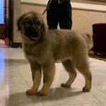 Razigrano štene šarplaninca čeka ruskog predsjednika (FOTO)