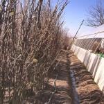 Počeli radovi u voćnjacima (VIDEO)