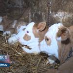 Devetaci: U porodici Keča krava otelila tri teleta (VIDEO)