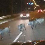 Divlje svinje okupirale Zemun i Novi Beograd