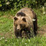 Kotor Varoš: Medvjed čovjeku otkinuo stopalo i dio potkoljenice
