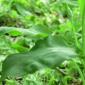 Liči na đurđevak, a kada biljku protrljate miriše na bijeli luk: Sremuš čisti organizam od glave do pete (VIDEO)
